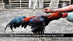 Tips Berternak Ayam Bangkok Menurut Agen S128