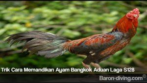 Trik Cara Memandikan Ayam Bangkok Aduan Laga S128