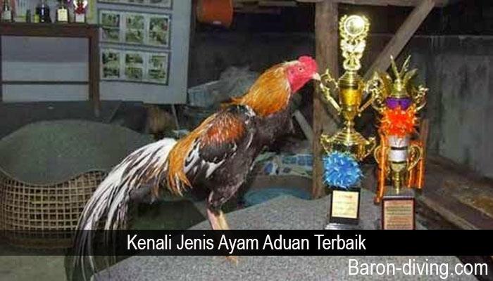 Kenali Jenis Ayam Aduan Terbaik